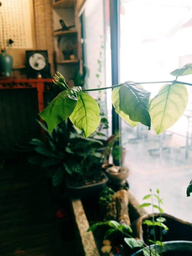 慕彦茶舍的叶子