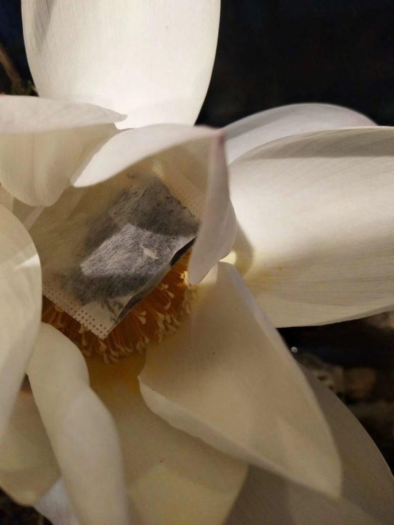 花苞里的茶