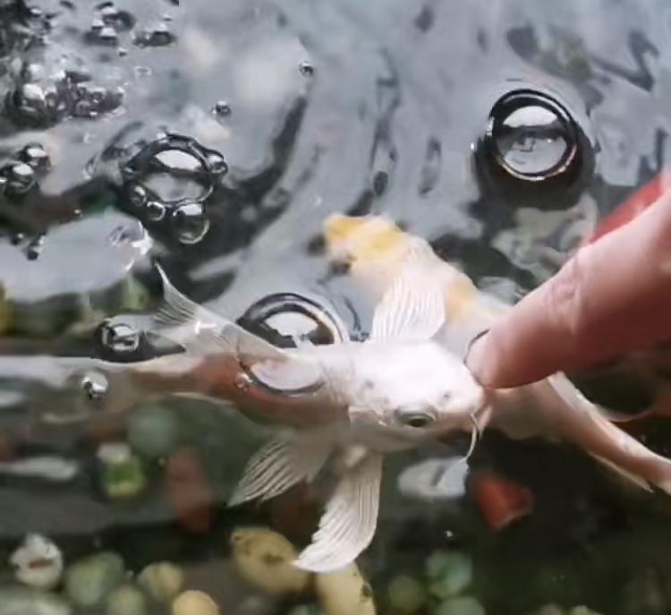 普洱茶可以倒入鱼缸吗